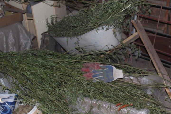 Выращивали коноплю саратов марихуана конец цветения