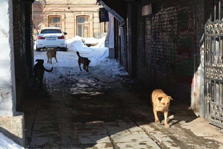 Прокуратура: бездомных собак в Саратове не ловили месяц, мэру Михаилу Исаеву внесено представление
