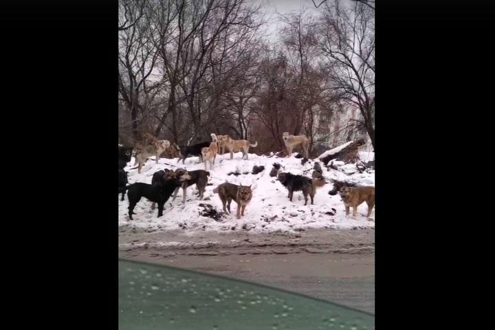 «До костей разденут»: жители микрорайона 2-я Пролетарка напуганы огромной сворой собак рядом с мусоркой